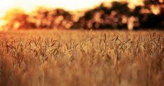 Un campo de cereal.