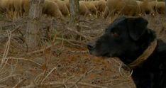 Un ejemplar de perro leonés de pastor.