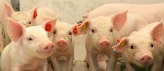 El sector porcino soriano es un referente de la actividad agraria de la provincia, es un referente nacional y cuenta con una interesante proyección económica de futuro.
