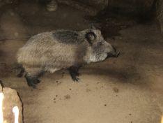 El jabalí criado en cautividad en Soria.