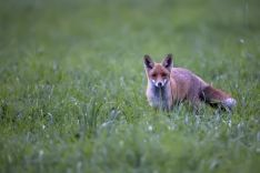 Un zorro en una imagen de archivo.